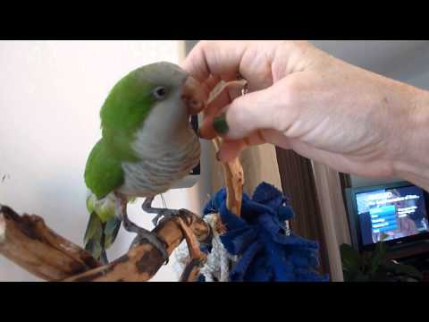 SHEENA, MY QUAKER PARROT TALKING ON VIDEO !!!
