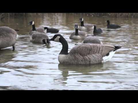 canada goose 2012