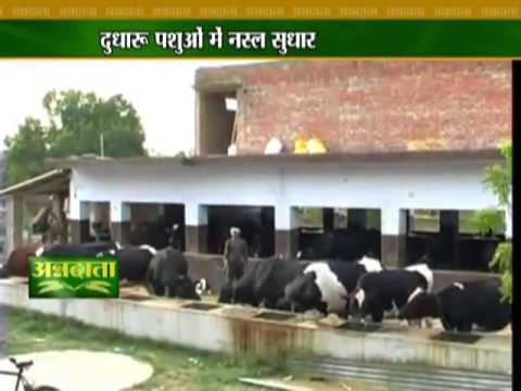 Know how to boost milk production in cattle