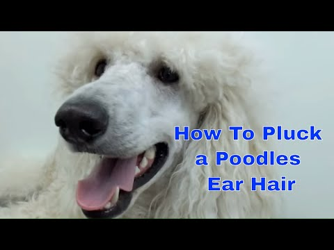 How to Pluck a Poodles Ear