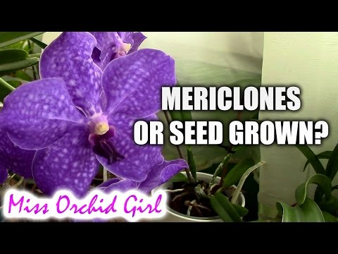 Orchid clones or seed grown - what to chose?