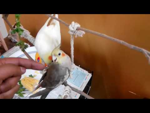 How to calm angry cockatiel