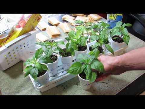 Pruning Pepper Transplants: Greater Yields, Stockier Plant, More Side-Shoots & No Flowers - TRG 2015