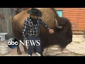 Download Video Download Family lives with a Bison called 'Wild Thing' inside their house 3GP MP4 FLV