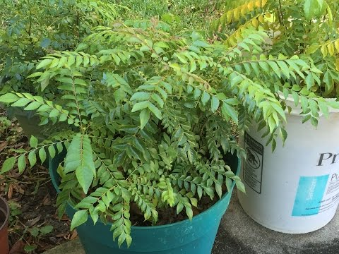 Grow / Care Curry Leaf Plant Tips by Bhavna