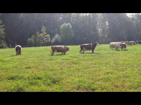 Happy cows skipping on the grass - GRUNT 2016(1)