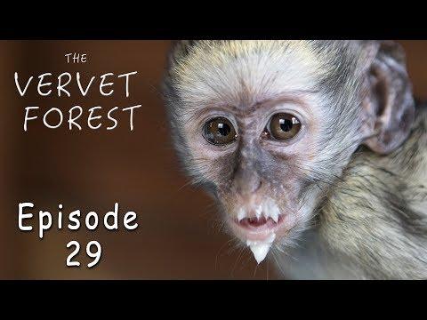 Cute Baby Monkeys Get A Bath // Road Trip Orphan Monkey - Ep. 29