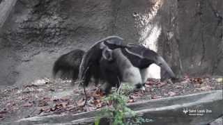 Anteater baby at Saint Louis Zoo