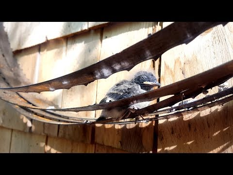 Baby Bird Trapped Between Saw Blades!