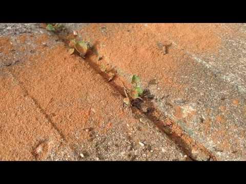 Ground Cinnamon vs. Ants