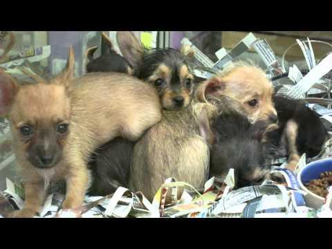 Baby Dorkie puppies dachshund/yorkie mix super cute month old