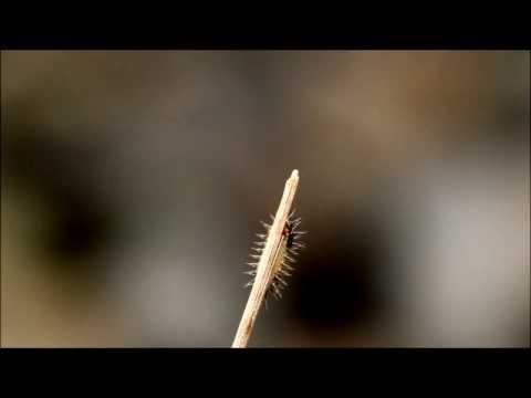 Little caterpillar, great pain