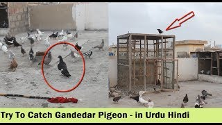 Kala Gandedar Kabootar Utra Chaht Par - Try To Catch Pigeon