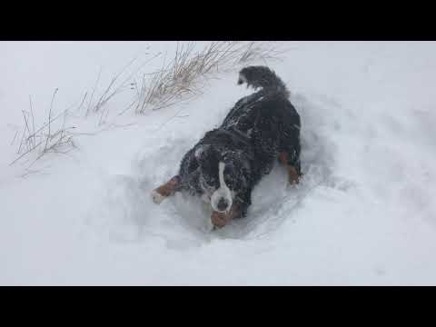 Bernese Mountain Dogs Make Snow Angels