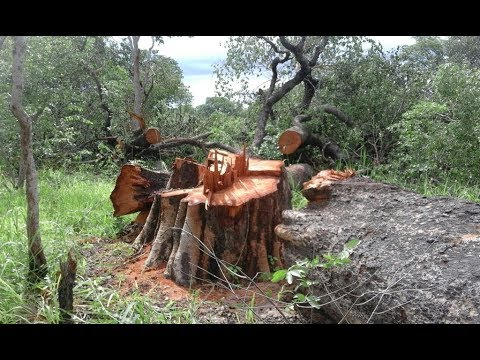 Campaign against illegal logging of rosewood  takes off