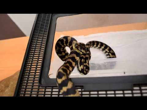 How to get rid of snake mites!