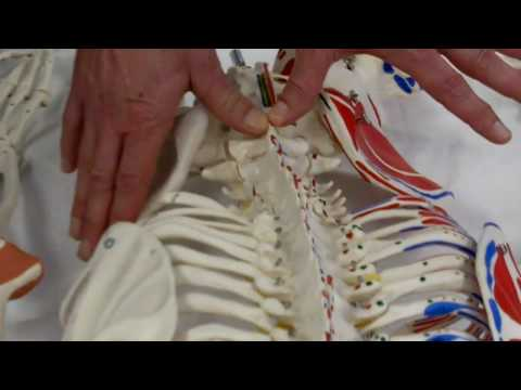 Maitland Lumbar PAIVM (skeletal model)