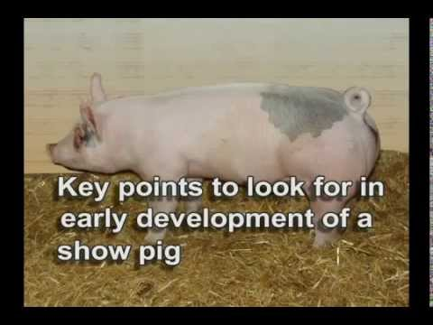Show Pig: Selection Points to look for in the early development - MoorMan's ShowTec