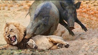 Frightened Mother Warthog Take Down Lion Pride That Hunting and Surrounding Baby - Wild Animals