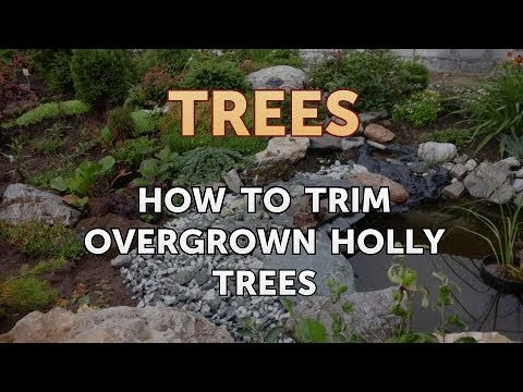 How to Trim Overgrown Holly Trees