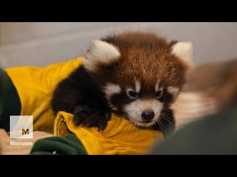 Xxx Mp4 Red Panda Cubs Visit The Doctor For A Cute Lil 39 Checkup Mashable News 3gp Sex