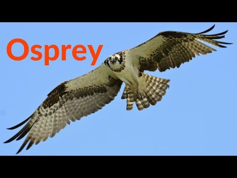 Osprey: The Beautiful Flight of the Osprey Bird of Prey Hunting Their Favorite Fish