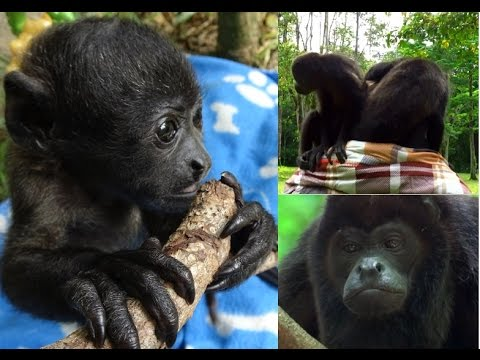 Taking howler monkeys into the forest – a part of releasing process
