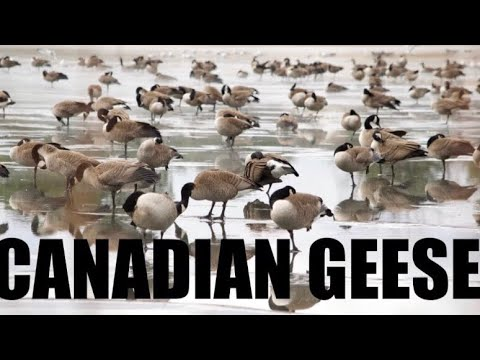 Canadian Goose | Geese noice, sound, honking, calling | North America birds | SaDhiSu FLICKS