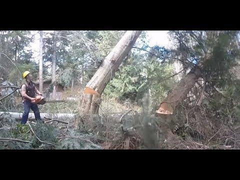 TREE FELLING, EXTREME LEANER STAYS ON STUMP