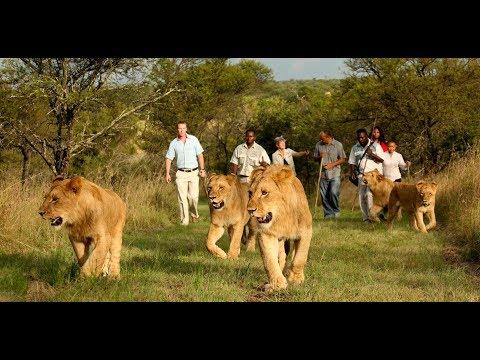 Lion:The king of the jungle has returned to Rwanda