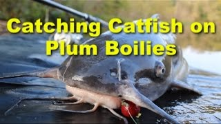 Awesome channel catfish bait: Plum boilies. Great catfish baits.