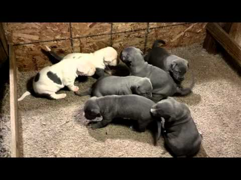 Blue Pitbull Puppy Litter at 3 weeks old