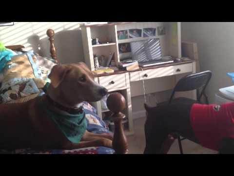 Dogs barking at stranger