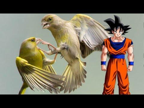 BIRD FIGHTING CHAMPIONSHIPS!