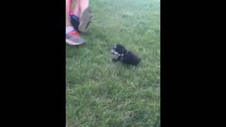 Baby Gronk Schnauzer Pup