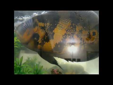 Oscar fish | Rare Golden | Male and Female oscar | how i pet my fish