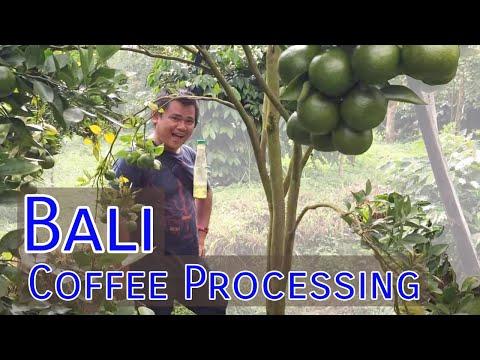 Coffee Production in Bali, Indonesia, A Quick Glimpse