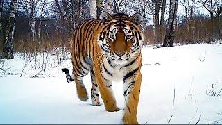 Siberian Tiger Kill   Operation Snow Tiger   BBC
