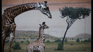#BabyLongLegs LIVE Stream -Toronto Zoo - Toronto Star Cam