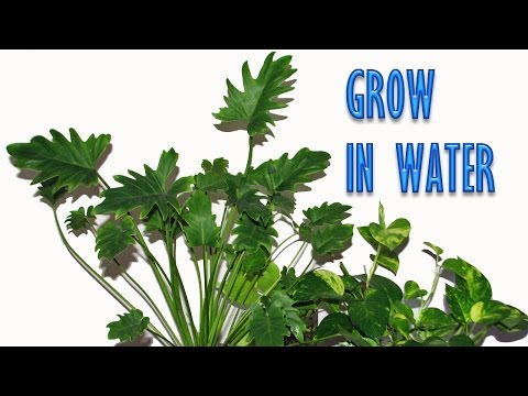 Grow Indoor Plants in Water for Years
