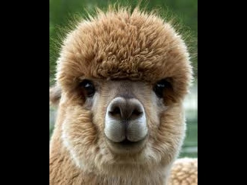 From Desk Job to Alpaca Farm