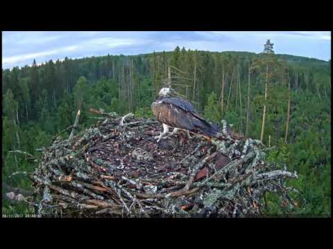 Live fish on the Estonian Osprey nest. Caution!
