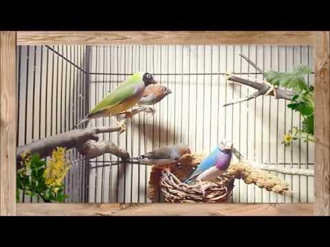 Birds: Finches