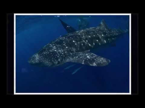 Almost eaten by giant whaleshark in Cancun