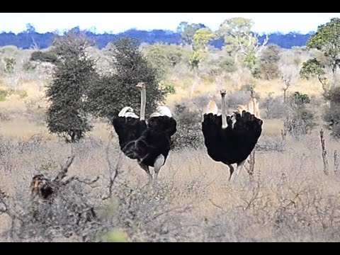 2 Male Ostrich doing a mating dance to impress a female