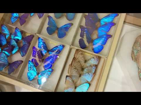 Iridescent Butterflies at Balboa Park in San Diego Natural History Museum.