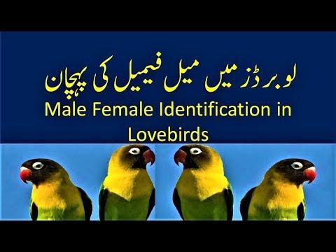 Love birds male female identification Love Birds Gender  Lovebirds food breeding complete info