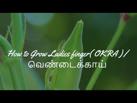How to Grow Ladies finger/வெண்டைக்காய் | Sowing seeds to harvest | Eng Sub|