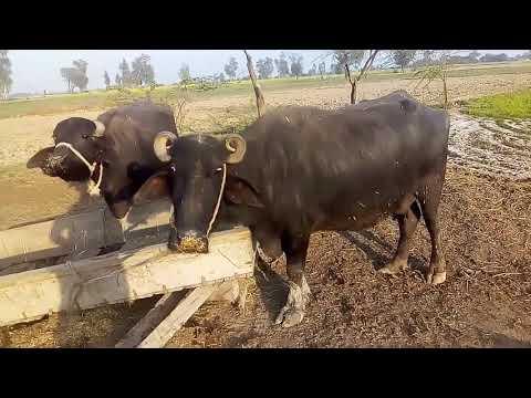 How to start a buffalo farm in urdu/hindi / Buffalo farming Information / Buffalo dairy farm project