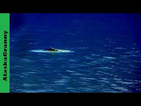Beluga Whales, Beluga Point, Alaska